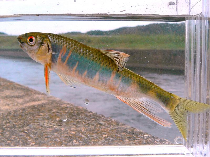 NAVER まとめ【釣り】オイカワの写真