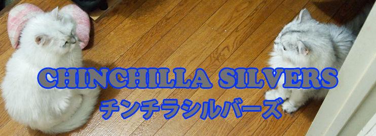 Chinchilla_Silvers|チンチラシルバーズ
