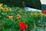 夏の花とKTR8000形