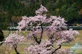 清水の桜と「トワイライトエクスプレス」