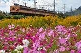 長岡京のコスモス畑と183系