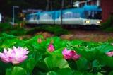 ハスの花とKTR8000形