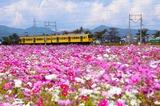 コスモス畑と近江鉄道800系